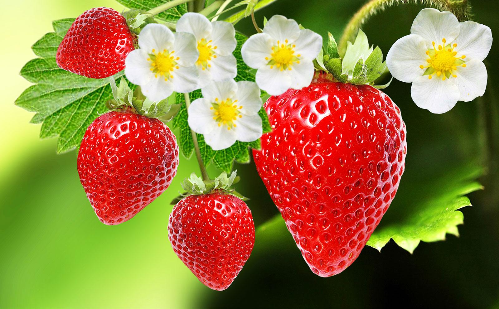 هر چیزی که باید راجب توت فرنگی بدانید